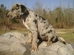 Леопардовая собака Катахулы на пикнике