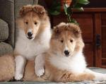Милые щенки породы длинношерстный колли