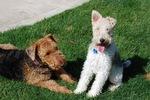 Два щенка эрдельтерьера