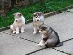 Три щенка аляскинского маламута