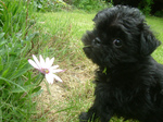 Щенок аффенпинчера с цветком