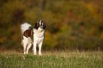 Собака Аиди в поле