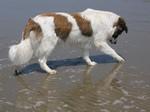 Собака Аиди на пляже