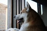 Акита-ину смотрит в окно