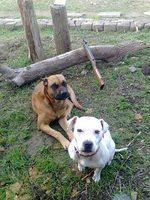 Собаки Алано
