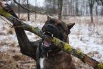 Собака алано с палкой