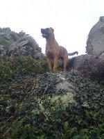 Собака Алано Зорро в горах