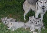 Аляскинский кли-кай и щенки