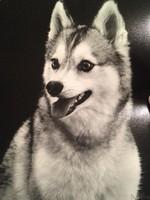 Аляскинский кли-кай черно-белое фото
