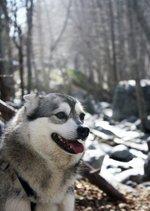 Аляскинский кли-кай зимой в лесу