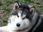 Аляскинский маламут Гизмо