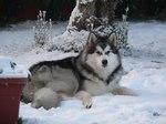 Аляскинский маламут в зимнем лесу