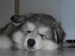 Аляскинский маламут спит