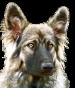 Морда американская эльзасской собаки
