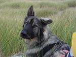 Американская эльзасская собака в поле