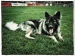 Американская эльзасская собака на стадионе