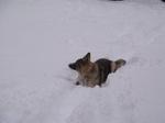 Американская эльзасская собака в снегу