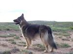 Американская эльзасская собака в степи
