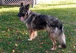 Американская эльзасская собака во дворе