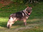 Американская эльзасская собака Лекси