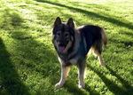 Американская эльзасская собака смотрит на тебя