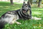 Американская эльзасская собака на траве