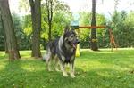 Американская эльзасская собака на детской площадке
