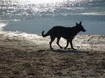 Американская эльзасская собака на берегу моря