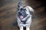 Американская эльзасская собака на полу