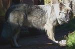 Американская эльзасская собака Оскар