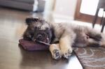 Щенок американской эльзасской собаки
