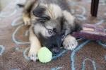 Щенок американской эльзасской собаки с игрушкой