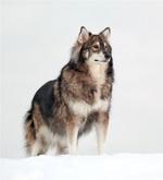 Американская эльзасская собака Сэмми