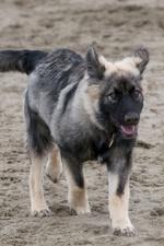 Американская эльзасская собака ходит по песку