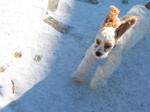 Американский кокер-спаниель на снегу