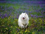 Американский эскимосский шпиц в поле цветов