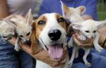 Американский Фоксхаунд с щенками
