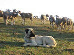 Анатолийская овчарка пасет овец