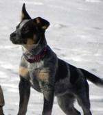 Австралийская пастушья собака на пляже