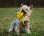 Австралийский шелковистый терьер и корзина с цветами