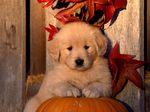 Осеннее фото щенка золотистого ретривера