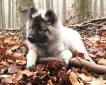 Осеннее фото щенка кеесхонда