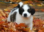 Осеннее фото щенка сенбернара