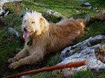 Баскская овчарка в поле