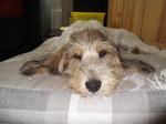 Малый вандейский бассет-гриффон на кровати