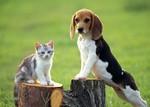 Бигль и кошка