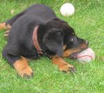 Собака босерон с мячом