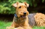 Красивая собака эрдельтерьер