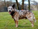 Красивая австралийская короткохвостая пастушья собака