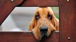 Красивая собака бладхаунд